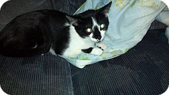 Domestic Shorthair Cat for adoption in Saint Albans, West Virginia - houdini needs a farm