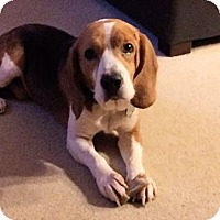 Adopt A Pet :: Walter - Novi, MI