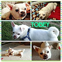 Adopt A Pet :: Tobey - bridgeport, CT