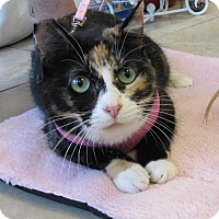 Calico Cat for adoption in Lighthouse Point, Florida - Baby