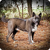Akita Mix Dog for adoption in Jacksonville, Florida - Thor