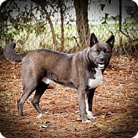 Adopt A Pet :: Thor - Jacksonville, FL