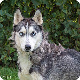 Image Result For Siberian Husky Adoption Illinois