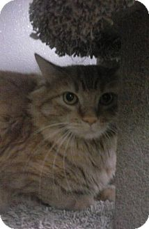 Domestic Longhair Cat for adoption in Fort Dodge, Iowa - Toy