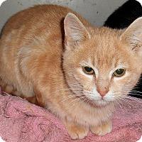 Adopt A Pet :: Einstein (declawed) - Chattanooga, TN