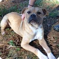 Adopt A Pet :: Snickers - Norcross, GA