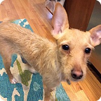 Terrier (Unknown Type, Medium) Mix Puppy for adoption in Chicago, Illinois - Priscilla