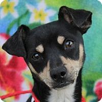 Adopt A Pet :: LOUIE - Red Bluff, CA