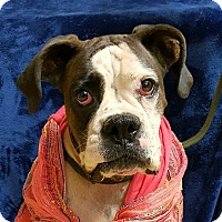 Boxer Dog for adoption in Yucaipa, California - Roxy