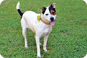 American Bulldog/Australian Cattle Dog Mix Dog for adoption in Salem, New Hampshire - SHAYNA