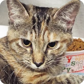 Domestic Shorthair Cat for adoption in Grants Pass, Oregon - Ginger