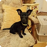 Chihuahua/Dachshund Mix Dog for adoption in greenville, South Carolina - Ricky