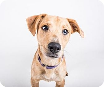 Dachshund/Australian Shepherd Mix Dog for adoption in Atlanta, Georgia - Honey