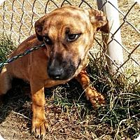 Adopt A Pet :: Kodi - Manhattan, KS