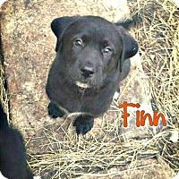 Adopt A Pet :: Finn - Killeen, TX