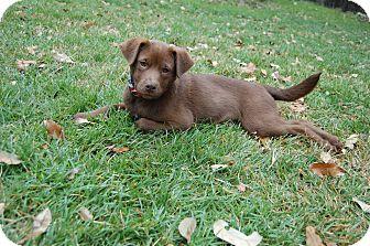 Labrador Retriever Mix Puppy for adoption in San Antonio, Texas - Tony Parker
