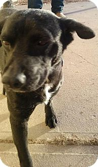 Collie/Labrador Retriever Mix Dog for adoption in Aurora, Colorado - Nancy 3