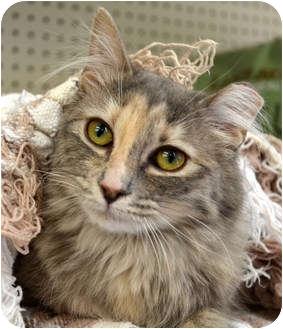 Domestic Mediumhair Cat for adoption in Troy, Michigan - Sardine