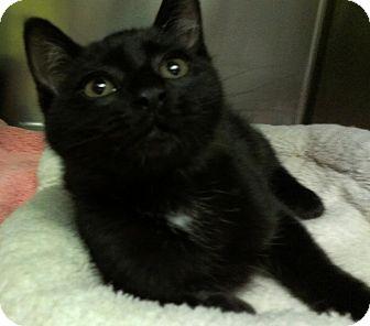 Domestic Shorthair Cat for adoption in Richboro, Pennsylvania - Drake