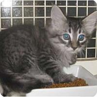 Adopt A Pet :: Pebbles - Dallas, TX