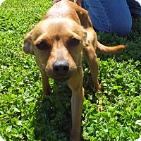 Adopt A Pet :: Honey - Franklin, KY