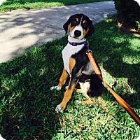 Adopt A Pet :: Valerie - Jupiter, FL