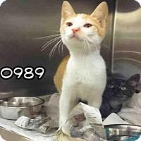 Adopt A Pet :: TIKI - San Antonio, TX