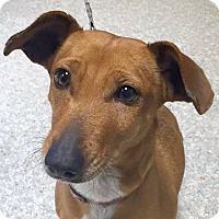 Adopt A Pet :: Sofia - Independence, MO