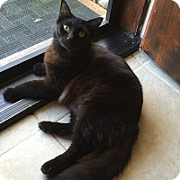 Domestic Mediumhair Cat for adoption in Sarasota, Florida - Nigel