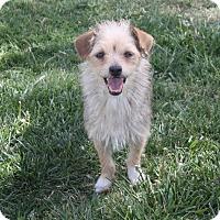 Adopt A Pet :: Sailor - Henderson, NV