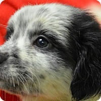 Adopt A Pet :: Dasher - Erwin, TN