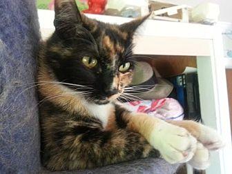 Calico Cat for adoption in Bonsall, California - Tricksy