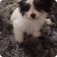 Adopt A Pet :: Lincoln - Houston, TX