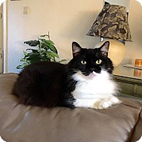 Domestic Longhair Cat for adoption in Arlington/Ft Worth, Texas - Boots