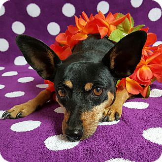 Miniature Pinscher Mix Dog for adoption in Yucaipa, California - Miss Virginia