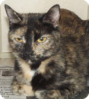 Domestic Shorthair Cat for adoption in Cheboygan, Michigan - Sweetpea