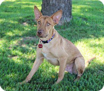 Labrador Retriever Mix Dog for adoption in Boyd, Texas - Jasper