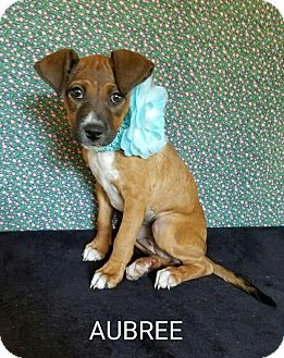 Dachshund Mix Puppy for adoption in Pluckemin, New Jersey - Aubree