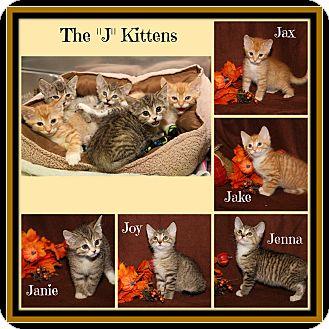 Domestic Shorthair Kitten for adoption in Marietta, Ohio - Jake Jax Janie Jenna & Joy