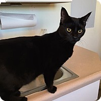 Domestic Shorthair Kitten for adoption in The Dalles, Oregon - Buttons