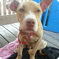 American Pit Bull Terrier Mix Puppy for adoption in Lowell, Indiana - Mickey