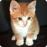 Adopt A Pet :: Butterscotch - Greenfield, IN