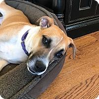 Adopt A Pet :: Star - Bedford Hills, NY