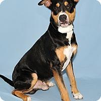 Adopt A Pet :: Bongo - Gatineau, QC
