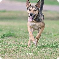 Adopt A Pet :: Hazel - Dickinson, TX