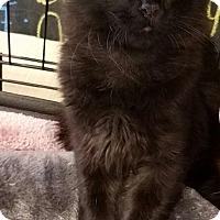 Adopt A Pet :: Lancelot - Cerritos, CA