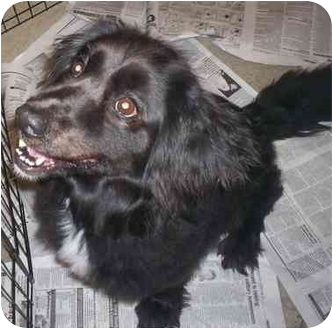 English Springer Spaniel Mix Dog for adoption in Richmond, Virginia - Rommie