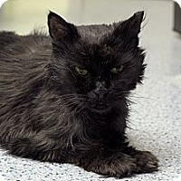 Adopt A Pet :: Joey Ramone - Chicago, IL