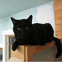 Domestic Shorthair Cat for adoption in Kingston, Washington - Otis