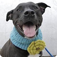 Adopt A Pet :: Chili - Brooklyn, NY